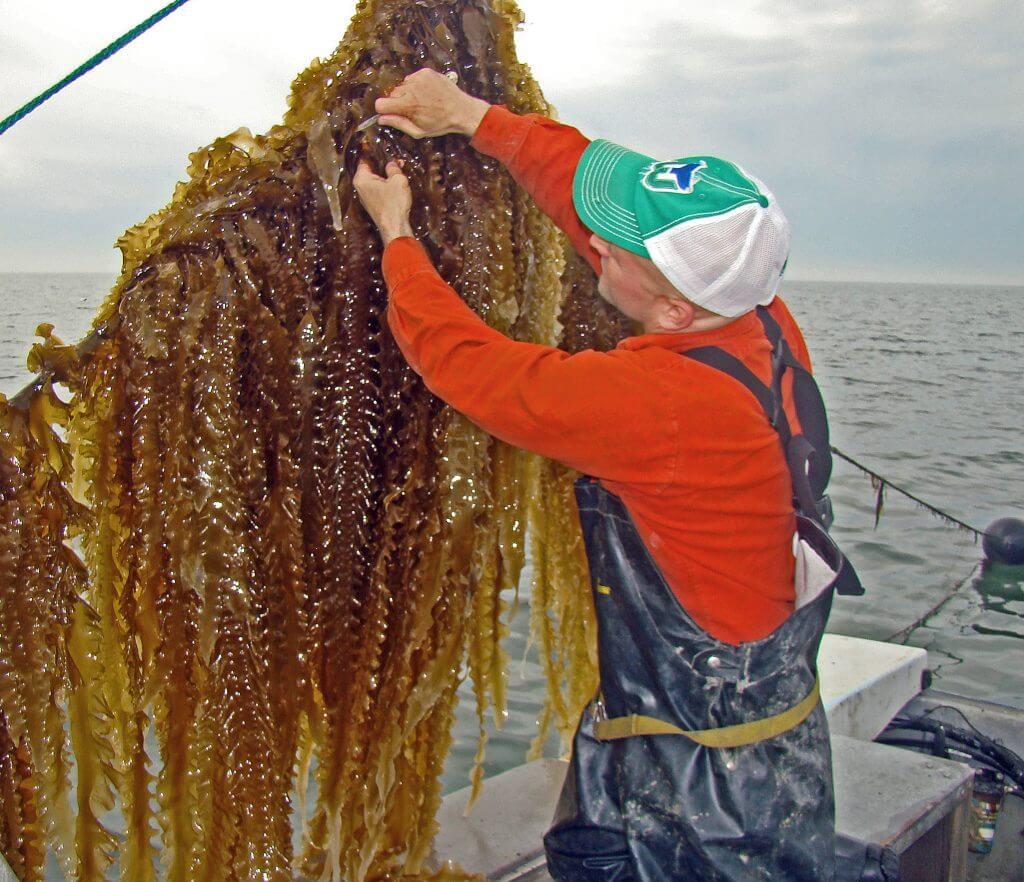 Bren Smith kelp